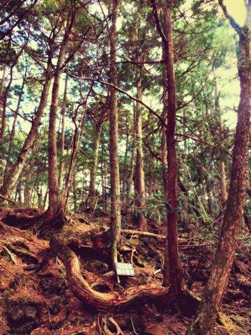 ヒノキの奇木