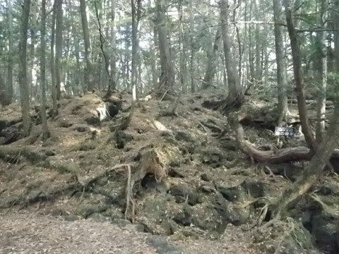 檜の奇木「八岐大蛇」