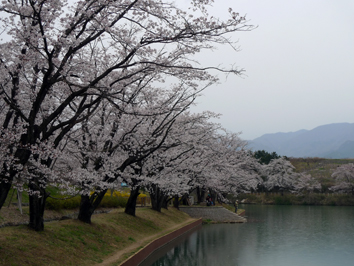 amesakura.jpg