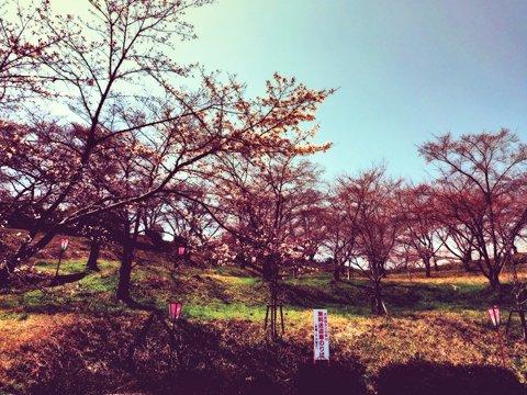 sakura_kaji.jpg