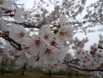 amesakura1.jpg
