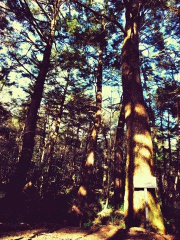 ツガの巨木帯